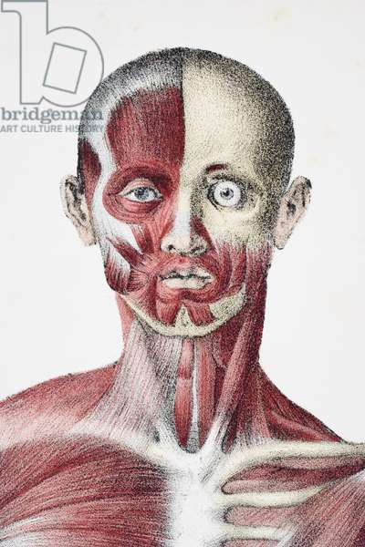 Head and shoulders of the male human body showing muscles sinews and bones, from 'The Vessels of the Human Body', edited by Jones Quain and William Wilson, published by Taylor and Watson, London in 1837 (colour litho)