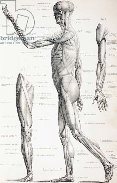 The Muscles of the Human Body, c.1890 (engraving)