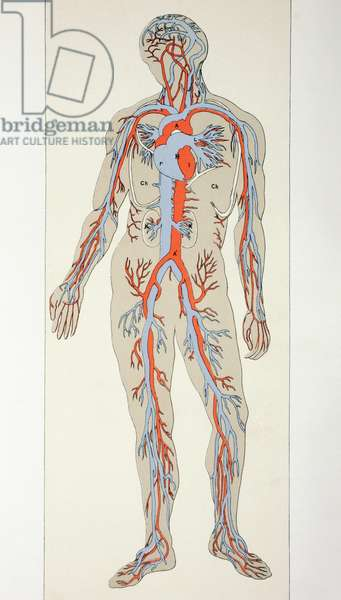 Distribution of Blood Vessels in the Human Body, c.1890 (colour litho)
