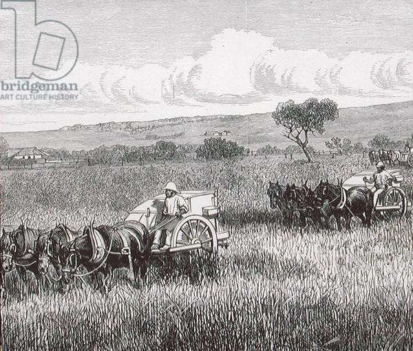 Reaping, South Adelaide, Australia, 1880s (engraving)