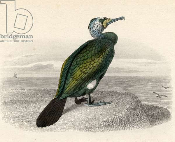 The Cormorant, drawn by Edouard Travies, engraved by Nargeot and sons.