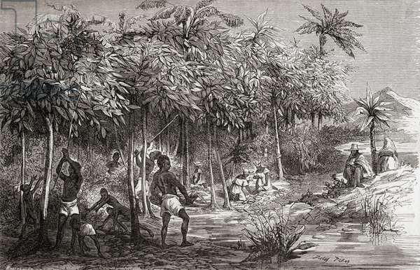 Slaves harvesting cacao from a plantation in Mexico, 19th century, 1864