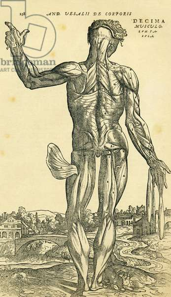 Back of male human body, an anatomical study originally published in De Humani Corporis Fabrica Libri Septem (on the fabric of the human body in seven books) by Andreas Vesalius, published Basel, 1543