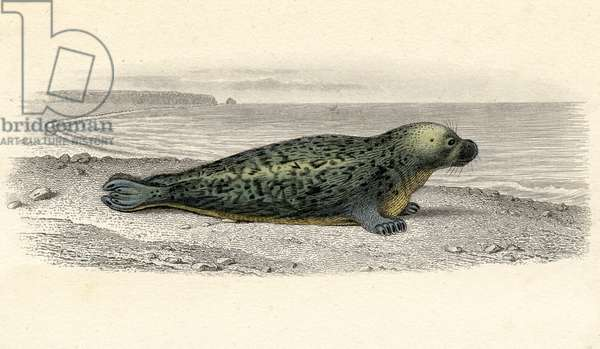The Common Seal, drawn by Edouard Travies, engraved by Paquien