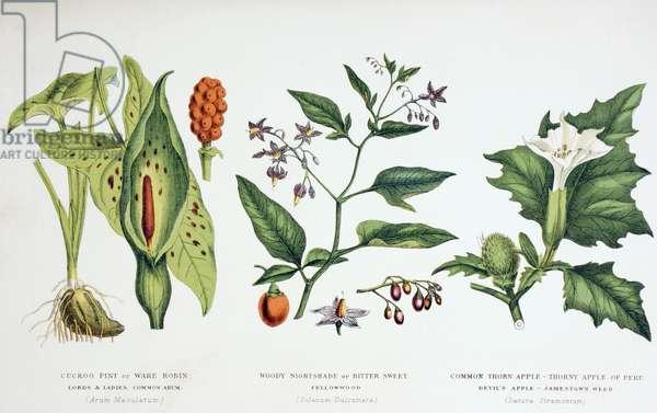 Common Poisonous Plants, c.1890 (coloured engraving)