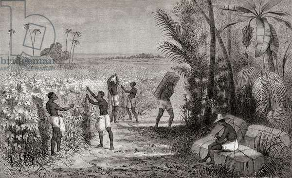 Slaves harvesting cotton in South America, 19th century, 1864