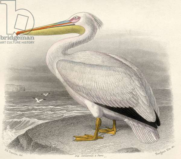 The Pelican, drawn by Edouard Travies, engraved by Nargeot and sons.