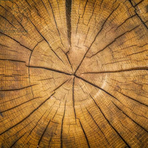 Sawn log showing growth rings, Dendrochronology (photo)