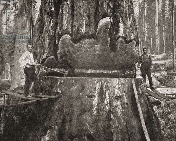 Cutting down a giant California Redwood tree in the late 19th century.  From The Strand Magazine published 1897.