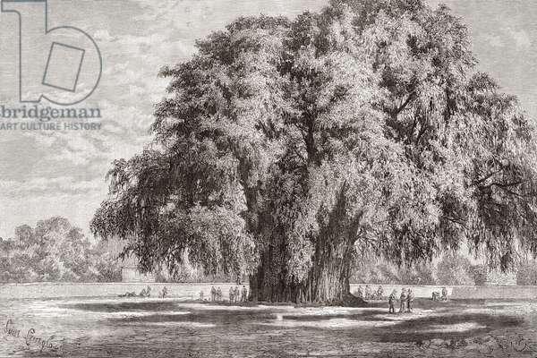 Santa María del Tule, Oaxaca, Mexico: The Tule Tree (engraving)