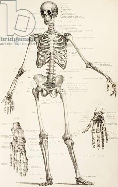 The Human Skeleton, c.1890 (engraving)