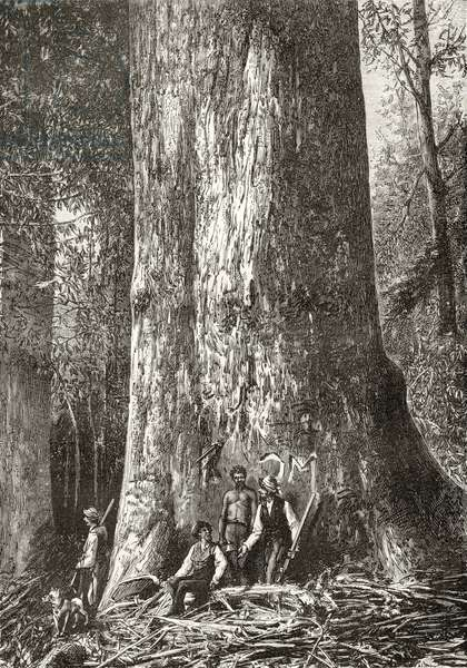 Giant Gum Tree, c.1880, from 'Australian Pictures' by Howard Willoughby, published by the Religious Tract Society, London, 1886 (litho)