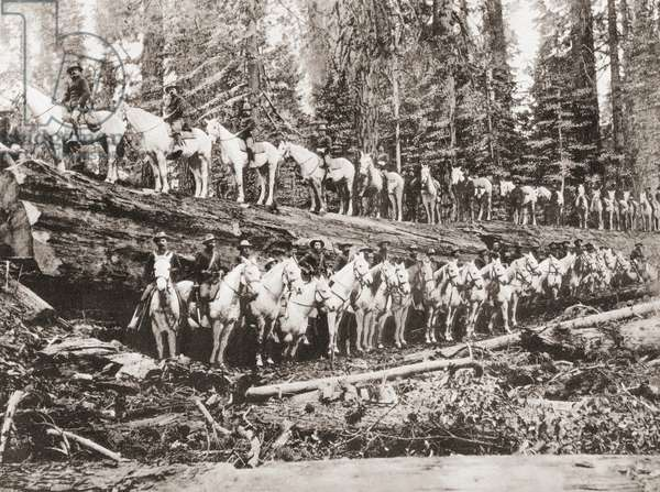 A troop of United States Cavalry posing on and alongside of a fallen redwood tree, California, United States of America, c.1915
