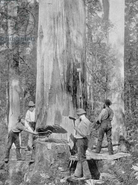 Felling a Blue-Gum Tree in Huon Forest, Tasmania, c.1900, from 'Under the Southern Cross - Glimpses of Australia', published in 1908 (b/w photo)