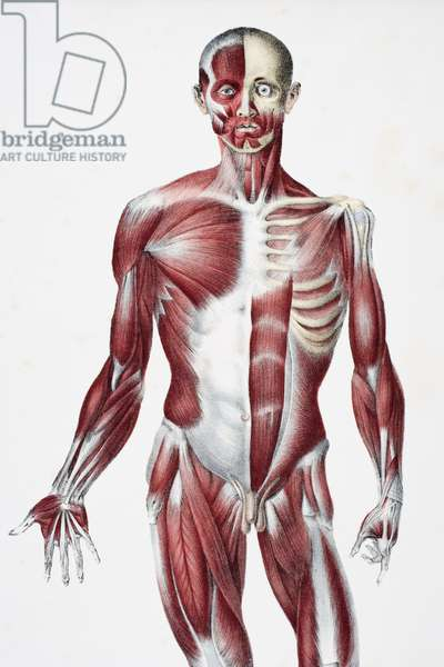 Front of the male human body showing muscles sinews and bones, from 'The Vessels of the Human Body', edited by Jones Quain and William Wilson, published by Taylor and Watson, London in 1837 (colour litho)