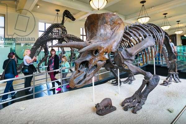 Dinosaur Triceratops skeleton.