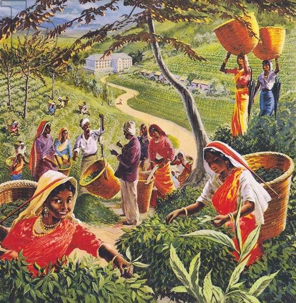 Tea plantation in Ceylon, 1960s. (colour litho)