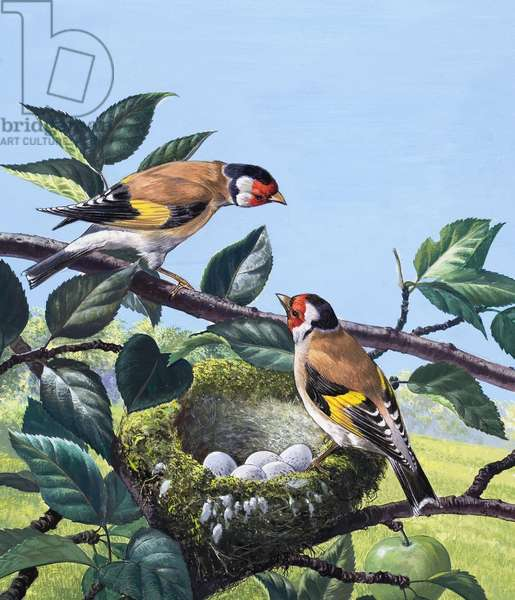 Goldfinches, 1969 (gouache on paper)