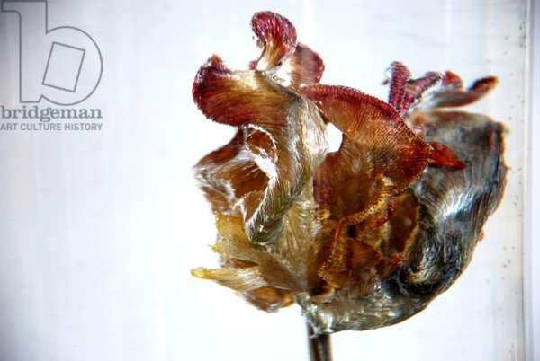 Water Tulip 4, 2013, photograph