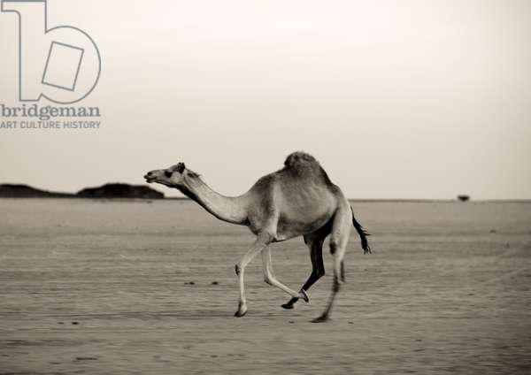 Camel in the Desert, Saudi Arabia (photo)