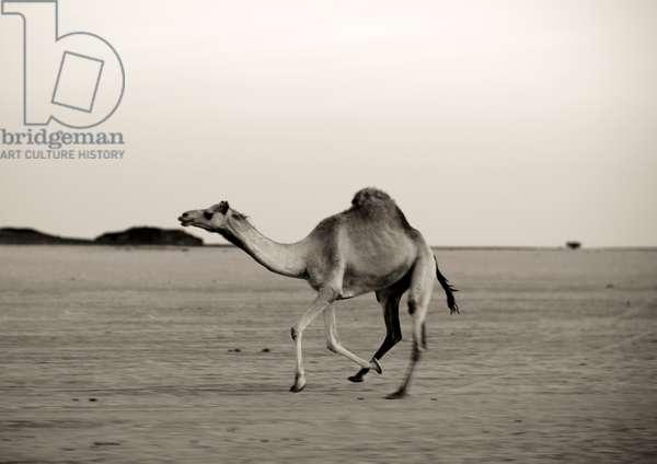 Camel in the Desert, Saudi Arabia (photo)