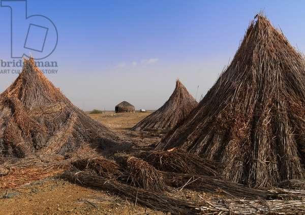 Sorgho on Tihama Coast, Saudi Arabia (photo)