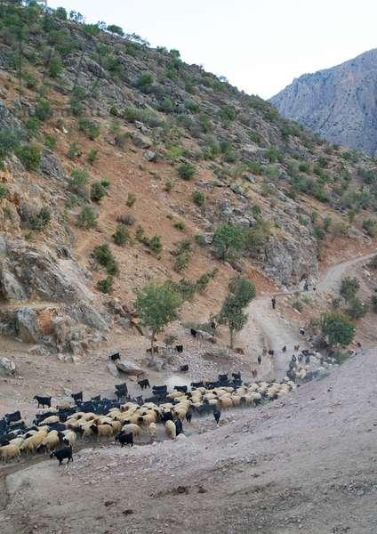 Goats Coming Back From The Mountain, Old Kurdish Village Of Palangan, Iran, 2013 (photo)