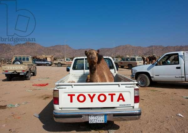 Camel in the Back of a Toyata Car, Najran, Asir, Saudi Arabia (photo)