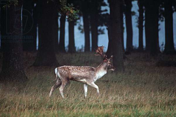 Deer in Phoenix Park, Dublin, referred to By James Joyce in 'Dubliners, Ireland (photo)