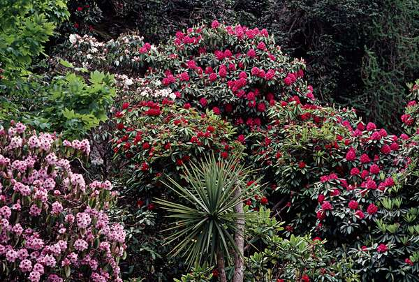 Rhododendrums on the Hill of Howth as referred to in James Joyce, 'Ulysses', Howth, Dublin, Ireland (photo)