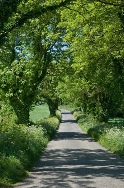Tree-lined unmarked road in the summer, Co. Down, Northern Ireland (photo)