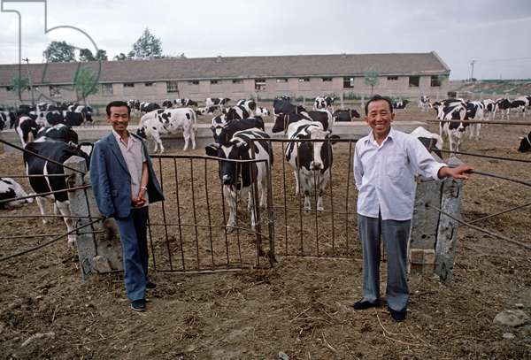 Dairy cows, Inner Mongolia, China, 1985 (photo)