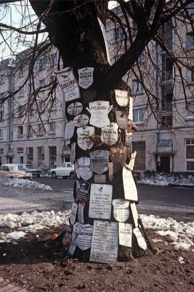 Historic plum tree, 'Message tree' that survived in the Warsaw Ghetto during World War 2, Warsaw, Poland, 1979 (photo)