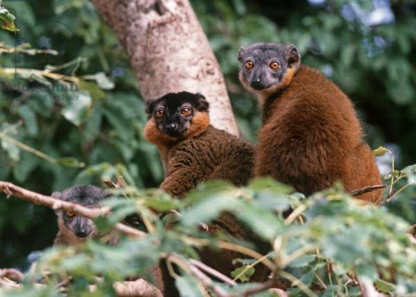 Common Brown Lemur, Madagascar, East Africa, Africa (photo)