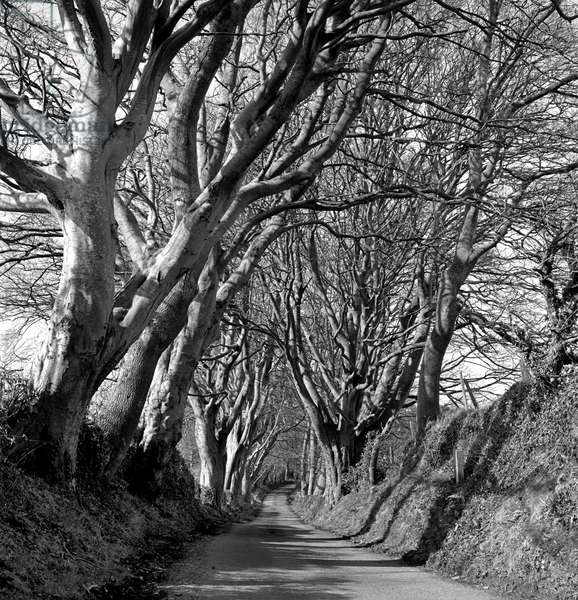 Avenue of trees, Co Down, Northern Ireland (b/w photo)