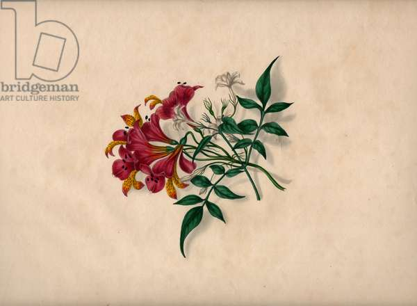 Lilies (coloured engraving)