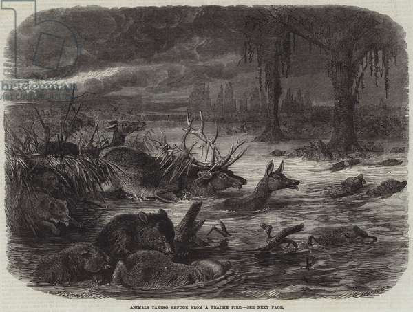 Animals taking Refuge from a Prairie Fire (engraving)