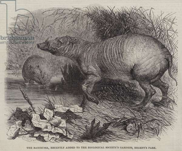 The Babirussa, recently added to the Zoological Society's Gardens, Regent's Park (engraving)