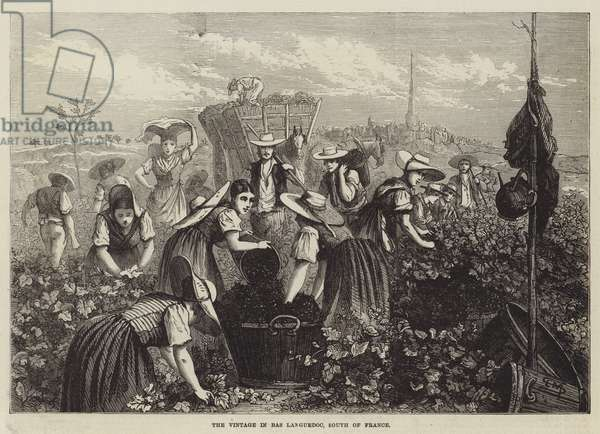 The Vintage in Bas Languedoc, South of France (engraving)