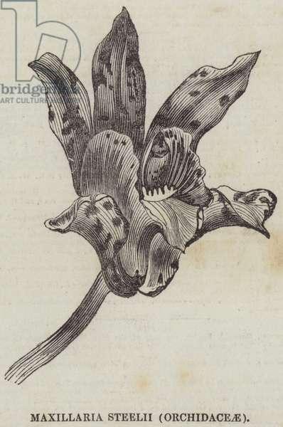 Maxillaria steelii (Orchidaceae) (engraving)