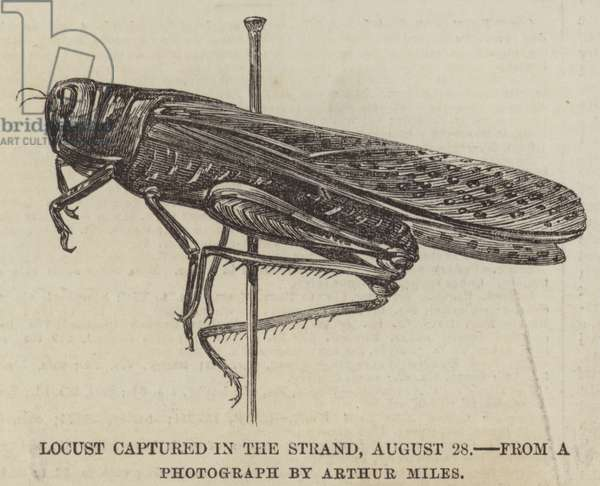 Locust captured in the Strand, 28 August (engraving)
