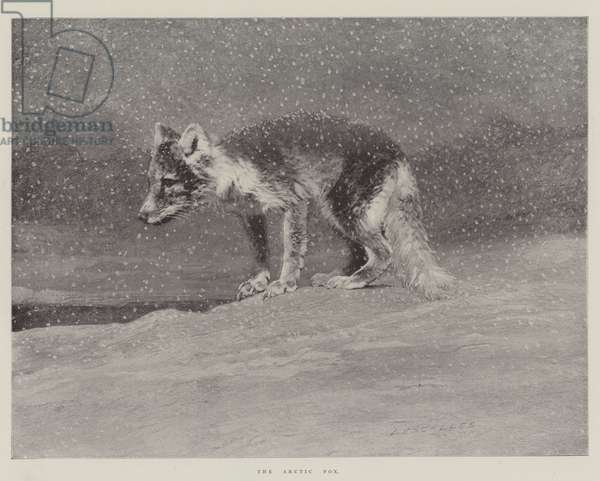 The Arctic Fox (engraving)