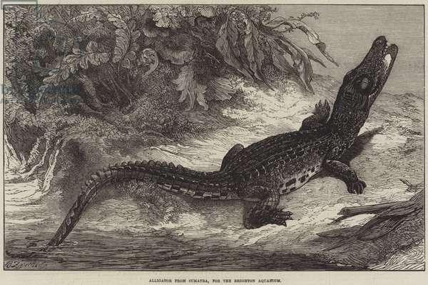 Alligator from Sumatra, for the Brighton Aquarium (engraving)