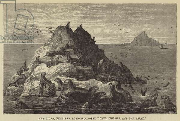 Sea Lions, near San Francisco (engraving)