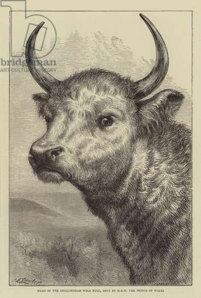 Head of the Chillingham Wild Bull, Shot by HRH the Prince of Wales (engraving)
