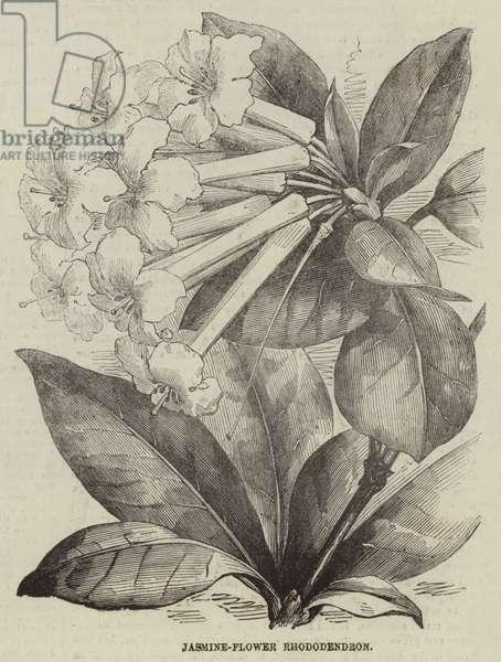 Jasmine-Flower Rhododendron (engraving)