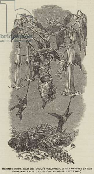 Humming-Birds, from Mr Gould's Collection, in the Gardens of the Zoological Society, Regent's-Park (engraving)