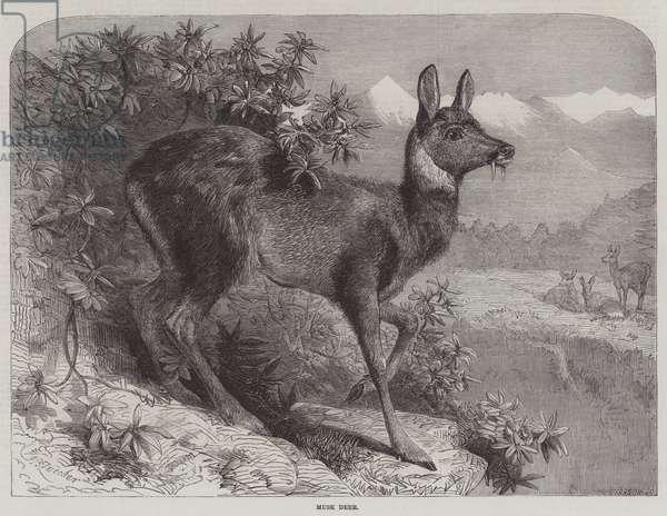 Musk Deer (engraving)