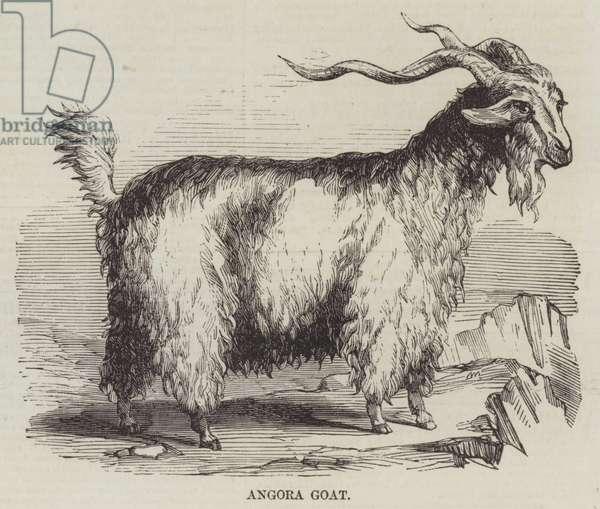 Angora Goat (engraving)