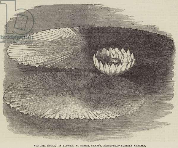 """""""Victoria Regia,"""" in Flower, at Messers Weeks's, King's-Road Nursery, Chelsea (engraving)"""